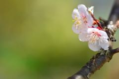 五月の残り梅