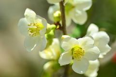 木瓜咲き初め・白