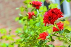 夏薔薇、花盛り