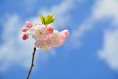 西院春日神社の八重桜4