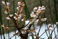 春の魁・瑞峯院
