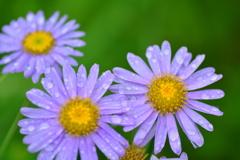 八月の雨と野菊