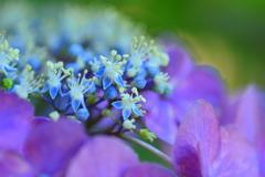 八月の紫陽花5