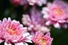 梅宮大社の鉢植え菊