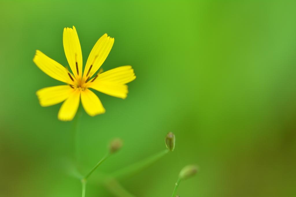 避暑地の黄色い花1