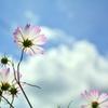 入道雲と秋桜