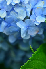 八月の雨と紫陽花