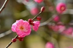 京都御苑の早咲き梅