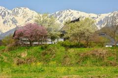 白馬・大出地区の春