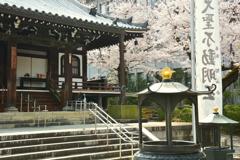 智積院・明王殿の桜