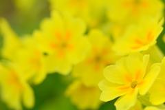 黄色の幻想3