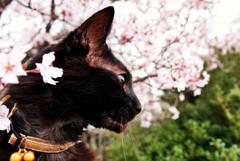 わが家の桜と (reo)