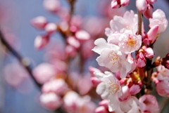 庭の花2021(サクラ)
