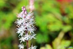庭の花(ティアレア)