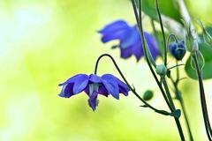 庭の花2021(オダマキ)
