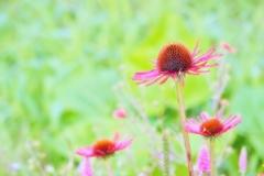 庭の花2021(エエキナセア)
