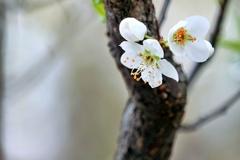 庭の花2019(スモモ)