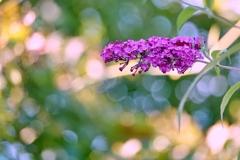 庭の花2021(ブットレア)