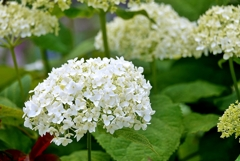 庭の花2020(アナベル)