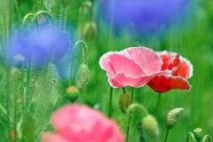 庭の花2020(ポピー)