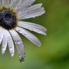 庭の花2020(アークトチスグランディス)