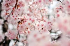 庭の花2020(サクラ)