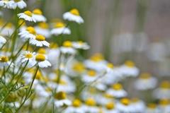 庭の花2020(カモミール)