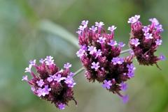 庭の花2020(サンジャクバーベナ)