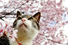 わが家の桜と (sora)