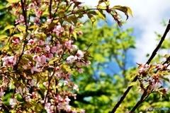 7月の桜(標高1,900m)