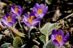 庭の花(クロッカス*)