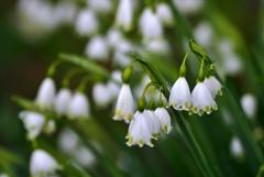 庭の花2020(スノーフレーク)