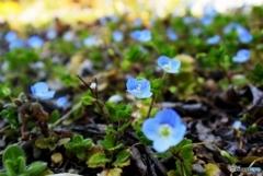 庭の花(オオイヌノフグリ)