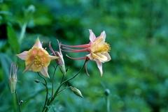 庭の花2020(オダマキ)