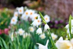 庭の花2021(スノーフレーク)