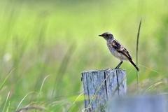 ノビタキ(幼鳥)