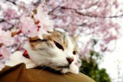わが家の桜と (goma)