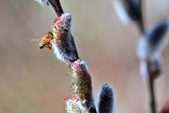 庭の花2021(ネコヤナギ)