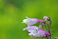 庭の花 (ペンステモン)