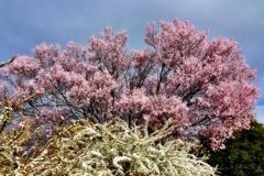 庭の花2021(サクラとユキヤナギ)