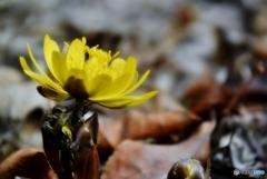 庭の花(フクジュソウ)