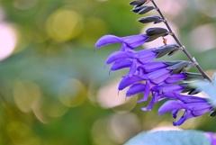 庭の花2021(メドーセージ)