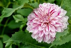 庭の花2020(ダリア)