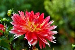 庭の花(ダリア)