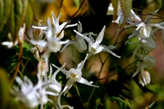 庭の花2020(イカリソウ)