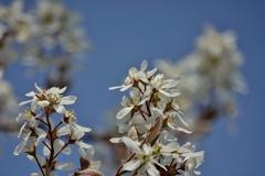 庭の花2020(ジューンベリー)