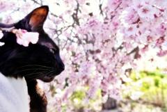 今年の桜と (reo)