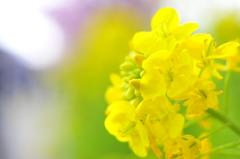 黄色の春の香り。