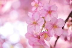 桃色の春の香り。