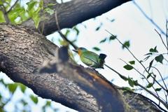 朝の一時【五色鳥】